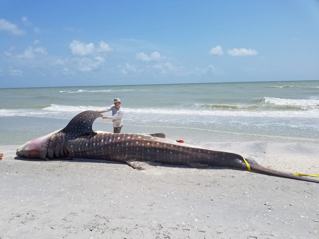 Scientists at the Florida Fish and Wildlife Conservation Commission Research Institute suspect that the red tide killed this whale shark in late July. Photo by Florida Fish and Wildlife Conservation Commission