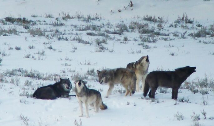 The Lamar Canyon Pack. Credit: Doug McLaughlin.