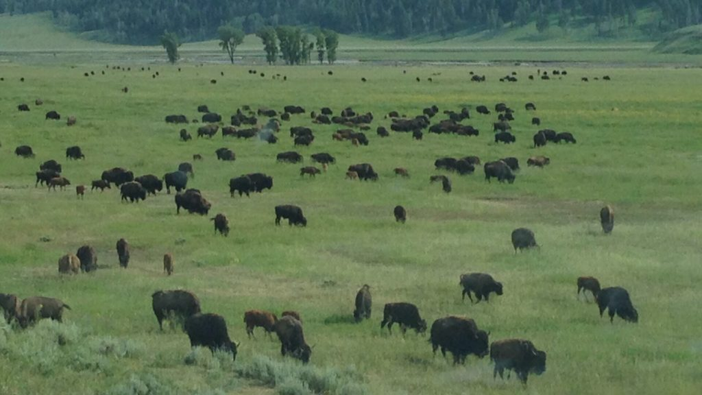 Bison in Lamar Valley. Credit: Nate Blakeslee