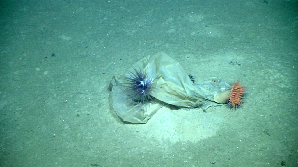 At the bottom of the remote Mariana Trench, a NOAA expedition encountered a plastic bag covered in anemones. Image by NOAA/Okeanos