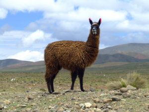 Llamas and other camelids make single-domain antibodies, small molecules that researchers think could hold the key to universal flu protection. Image by John Kaufman/via Wikimedia