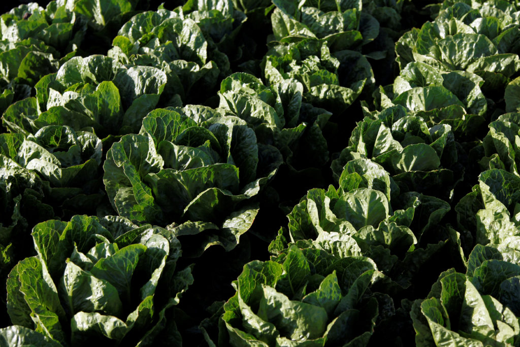 Romaine lettuce grows near Soledad, California, U.S., May 3, 2017. REUTERS/Michael Fiala