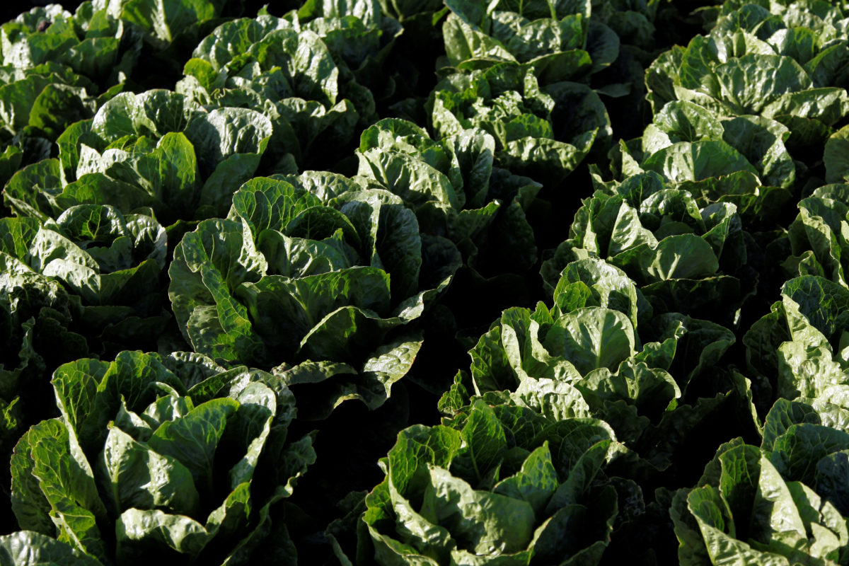 pbs.org - Laura Santhanam - E. coli in romaine lettuce is making people sick. Here's what you need to know