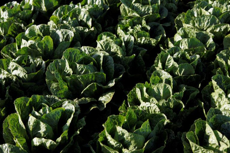 Romaine lettuce grows near Soledad, California, U.S., May 3, 2017. REUTERS/Michael Fiala