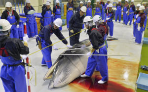Researchers check a minke whale at Ayukawa port in Ishinomaki, Miyagi Prefecture in 2014, after four Japan's research whaling ships returned from a one-day hunt for minke whales off the prefecture. Photo by Kyodo/Reuters