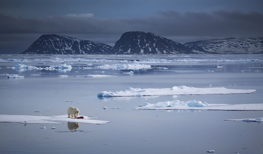 A polar bear stands among a thin ice floe off the northern shores of the Svalbard Archipelago. Photo by Chase Dekker Wild-Life Images/via Getty Images