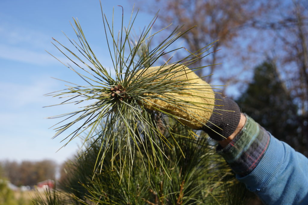 How To Grow The Perfect Christmas Tree It S Harder Than You Think