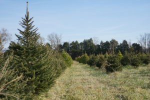 Christmas trees at Evergreen Acres farm in Prince William County, Virginia. Photo by Vicky Stein