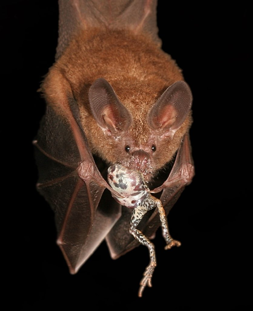 Fringe-nosed bats that feed on túngara frogs are attracted to the frog calls, but don't like to venture into the city lights. Photo by Alex Baugh