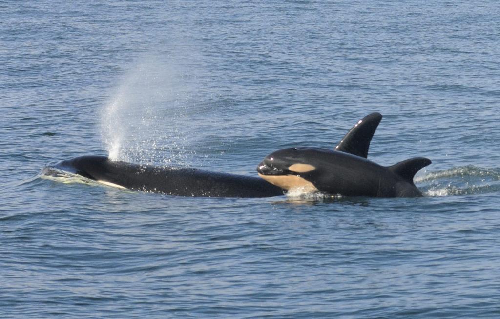 A female killer whale and her newborn calf are seen February 26, 20…