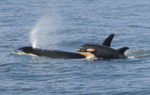 A female killer whale and her newborn calf are seen February 26, 2015 in this handout photo provided by NOAA in Grays Harbor near Westport, Washington. Orcas that live in the waters between Washington state and Canada's Vancouver Island have failed to reproduce successfully in the past three years. Photo by Candice Emmons/NOAA Fisheries/Handout via Reuters