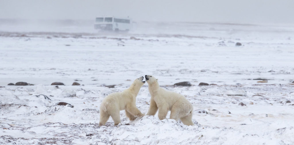 The research vehicle Tundra Buggy One (in background) is used to track polar bears in Canada's Hudson Bay area. Photo by Simon Gee/Polar Bears International
