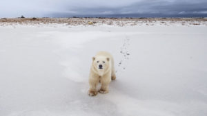 A polar bear outside Churchill, Manitoba, which is located on the animals' annual migration route. Photo by Tim Auer/Polar Bears International
