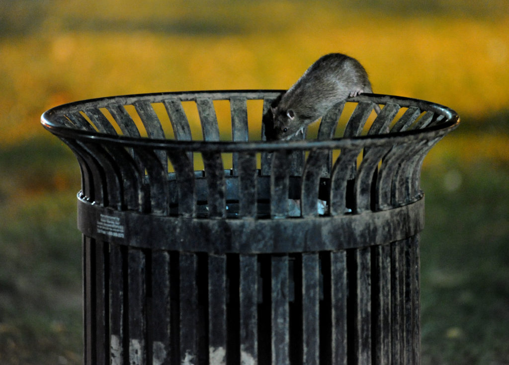 A rat ventures into a trash can that had food inside at 15th Street and Vermont Ave. Rats are quite agile and fast. August is the big month for rats in the District. Where ever there's any kind of exposed trash, especially in alleys and parks, they will be on the hunt for food that's easy pickings. Photo by Michael S. Williamson/The Washington Post via Getty Images