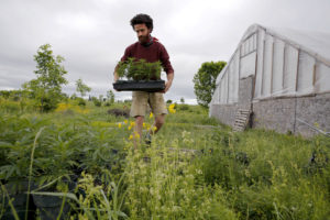 BENTON, ME - JUNE 14: Ben Rooney, co-owner of Wild Folk Farm, moves hemp clones in preparation for planting. The farm is growing about 300 organic hemp plants this year. And they aren't the only ones. The organic crop, which will be largely used for medicinal edibles that come without the high of marijuana, was a micro crop last year, with only about an acre in production in the whole state. This season, that number is up to about 500 acres. (Staff photo by Ben McCanna/Portland Press Herald via Getty Images)