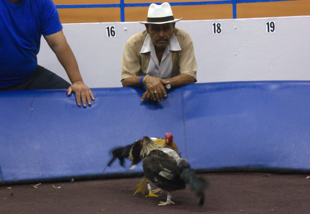 Roosters fight at the Gallera Rancho Alegre club in San Sebastian, Puerto Rico. Participants place official bets before the match, but also bet informally during the fights, which can last up to 12 minutes. Photo by Gabriela Martinez/PBS NewsHour