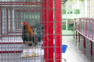 Jose Llavona raises and trains roosters for cockfighting on this farm in Cidra, Puerto Rico. Some of the roosters fight in Puerto Rico, but the pedigree roosters are sold to customers in South America. Photo by Gabriela Martinez/PBS NewsHour