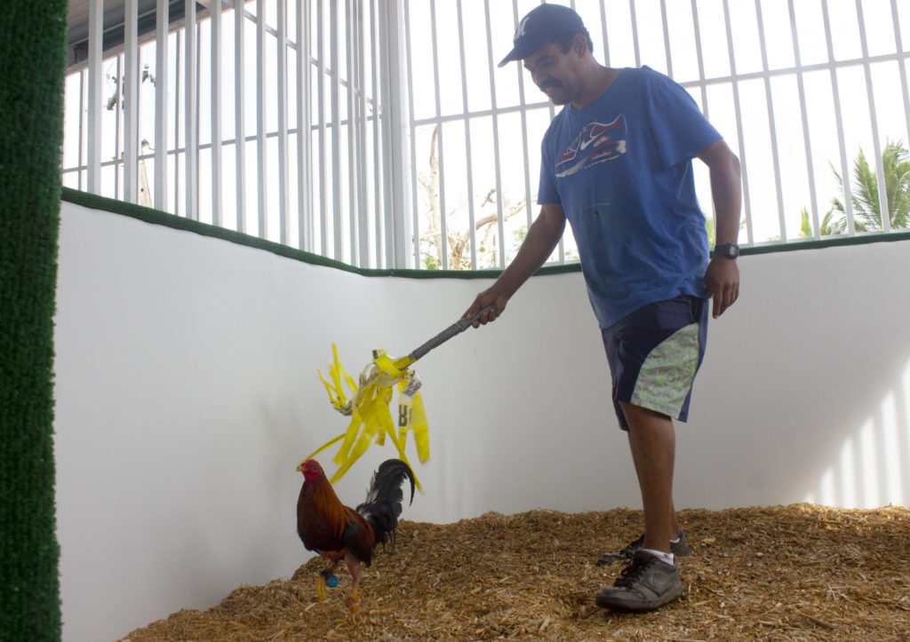 José Santiago, who has worked as a trainer for 22 years, uses a makeshift tool to chase a rooster at a farm in Cidra, Puerto Rico. Running is an important part of a rooster's athletic training, Santiago said. Photo by Gabriela Martinez/PBS NewsHour