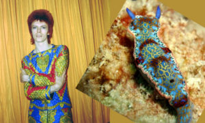 "One of many comparisons between a David Bowie look and a sea slug. This picture of Bowie (left) dressed as ""Ziggy Stardust"" was taken in New York in 1973. The sea slug is a Hypselodoris acriba, native to the Caribbean. Images courtesy of Michael Ochs Archives/Getty and Tim Kary"