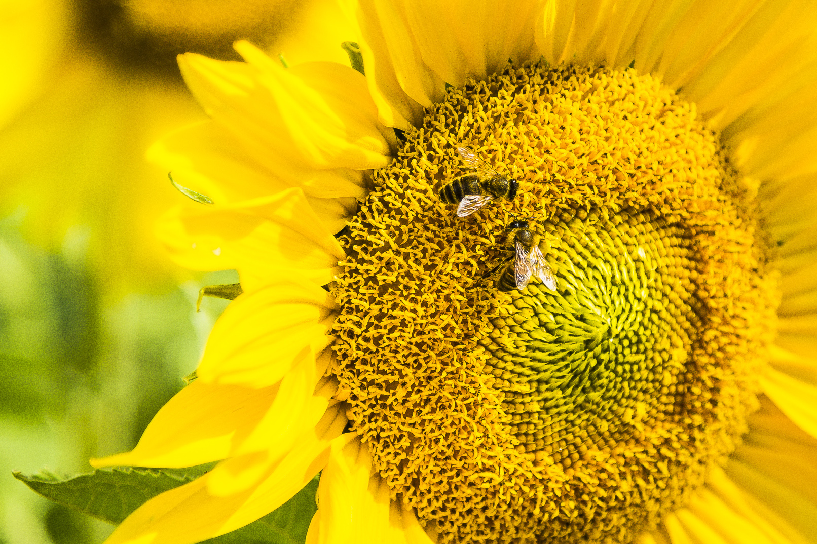 Honeybees forage for nectar, visiting hundreds of flowers a day to provide food for their entire colonies. That makes them ideal study subjects, according to researchers. Image courtesy of RMIT University