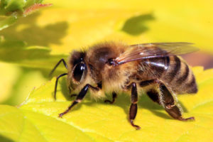 Trained honeybees can solve simple math problems, according to a new study. Image courtesy of Charles J Sharp, CC