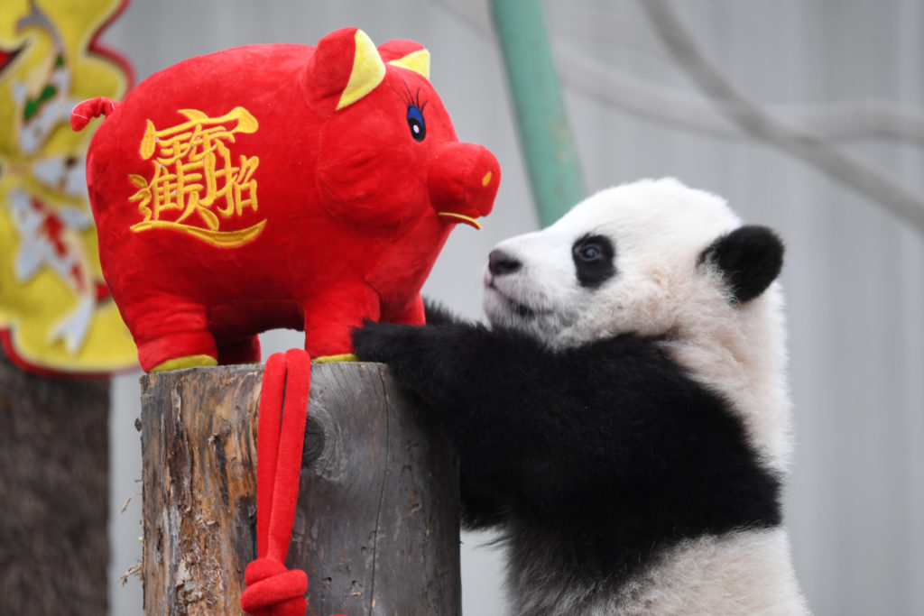 A giant panda cub plays with a stuffed toy pig during an event to celebrate the Chinese Lunar New Year of Pig, at Shenshuping panda base in Wolong, Sichuan province, China on January 31, 2019. China Daily via Reuters