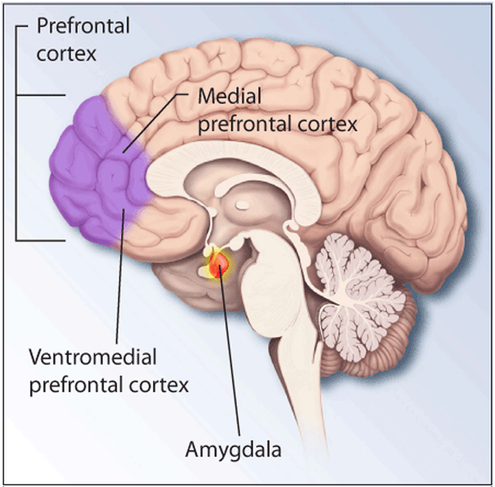 The medial prefrontal cortex (left) receives signals from multiple parts of the brain. That includes the amygdala, which governs fear. Such emotional cues help make our music-evoked memories stand out. Image by the National Institute of Mental Health