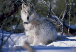 Wildlife officials say the gray wolf population has made a significant recovery in recent years. Photo by William Campbell/USFWS