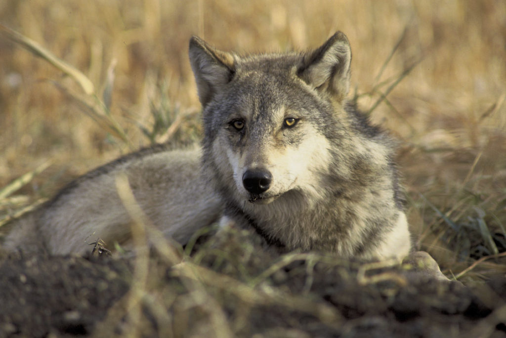 More than 6,000 gray wolves now live in portions of nine states, according to U.S. wildlife officials. Photo by John and Karen Hollingsworth/U.S. Fish and Wildlife Service