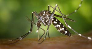 This Aedes albopictus mosquito could carry diseases like dengue and chikungunya. As temperatures change around the globe, the distribution of this species and its viruses will put large swaths of the planet at risk. Photo by James Gathany/Centers for Disease Control and Prevention