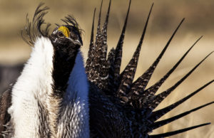 A U.S. Bureau of Land Management photo shows a sage grouse in this undated photo. The Trump administration is allowing allow more oil and gas drilling in the sage grouse's habitat. Photo by Bob Wick/BLM/Handout via Reuters
