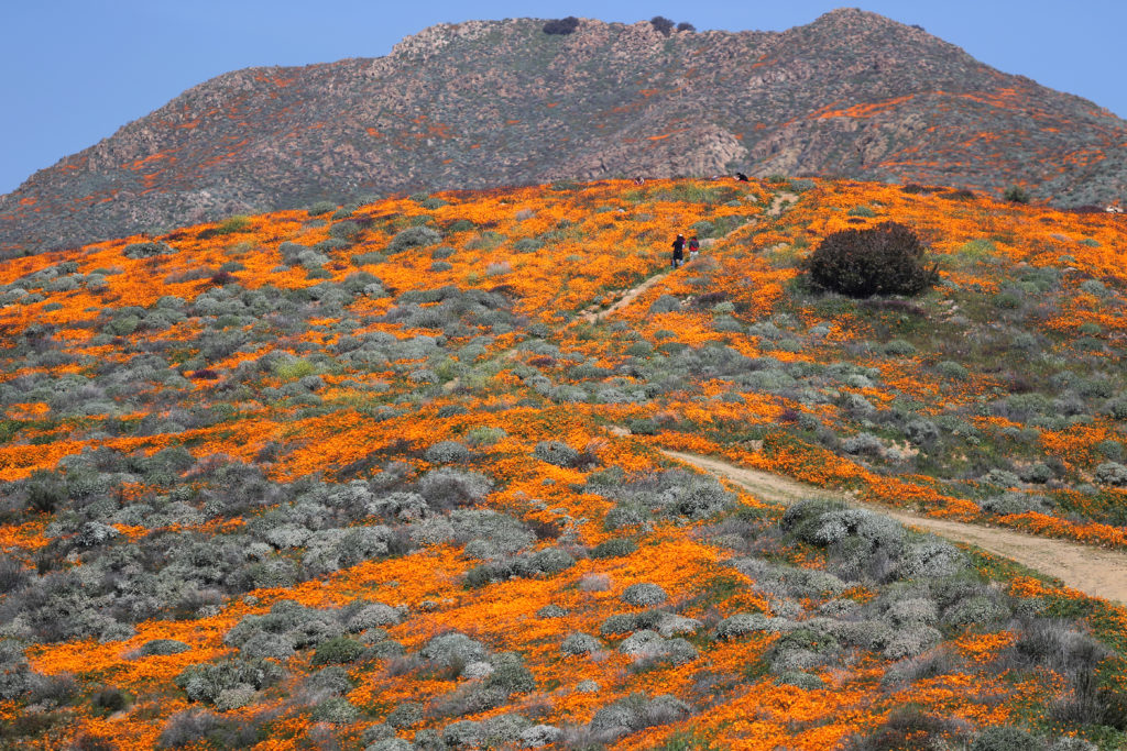 A super bloom of poppies is seen in Lake Elsinore, California on February 27, 2019. Heavy rains and snow during the winter have lifted all but a few parts of California out of its seven-year drought. Photo by Lucy Nicholson/Reuters