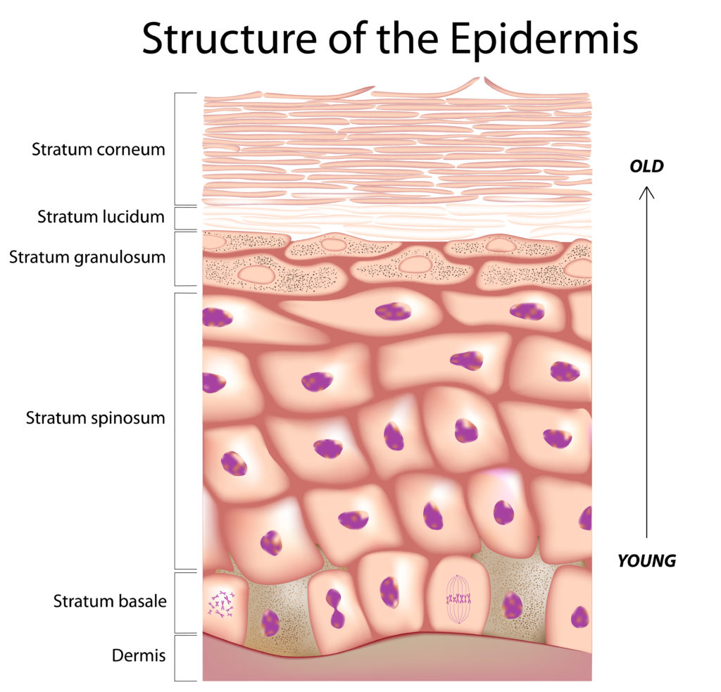 The structure of the epidermis. Image by Alila Medical Media/via Adobe Stock