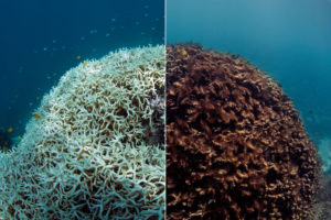 Bleached corals turn a ghostly white color underwater. If they can't recover quickly enough, the bleached corals die and algae coats the once-colorful surface. These images from Lizard Island, part of the Great Barrier Reef, capture the aftermath of coral mortality. Image courtesy of The Ocean Agency / XL Catlin Seaview Survey