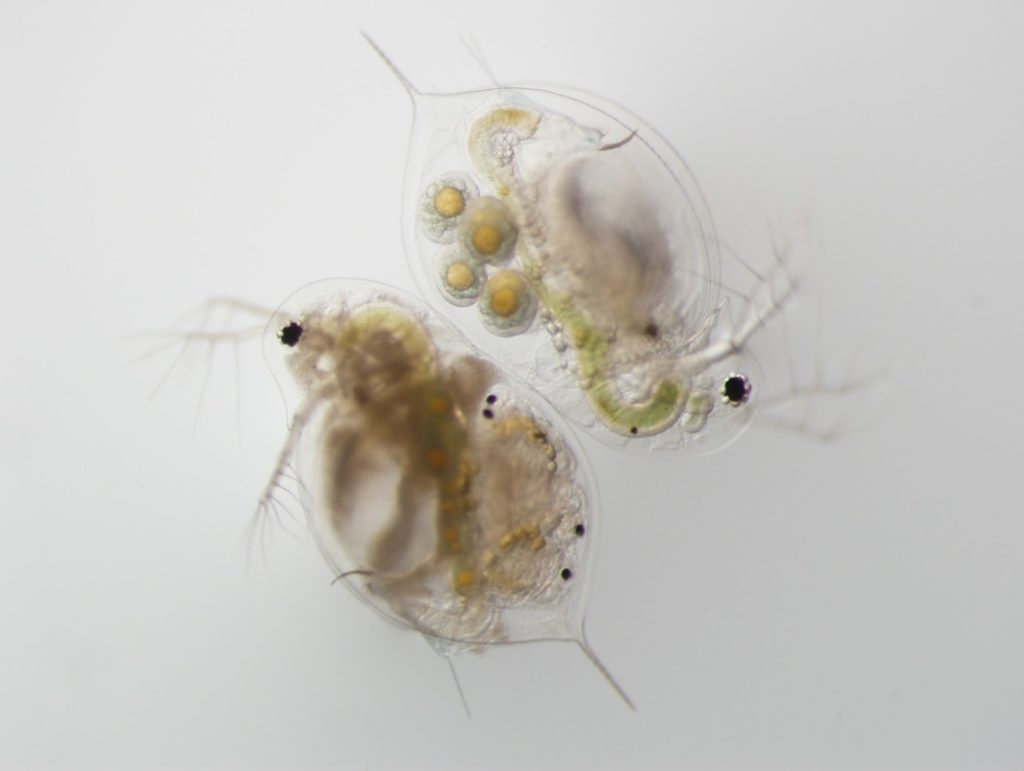 Healthy Daphnia, like the animal in the upper right of this image, are transparent and carry eggs. The Daphnia on the lower left is clouded with fungus. Image courtesy of the Duffy Lab