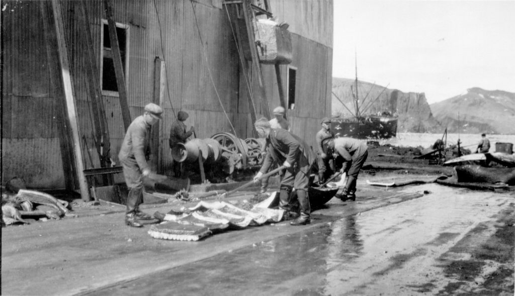 Between 1912 and 1931, factory workers cut up whale blubber and meat for the pressure cookers on Deception Island, Antarctica. Photo courtesy of the Wilkins Collection, Byrd Center/Ohio State