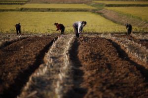 North Korean farmers work in a field of a collective farm in the area damaged by recent floods and typhoons in the South Hwanghae province on September 30, 2011. Photo by Damir Sagolj/Reuters