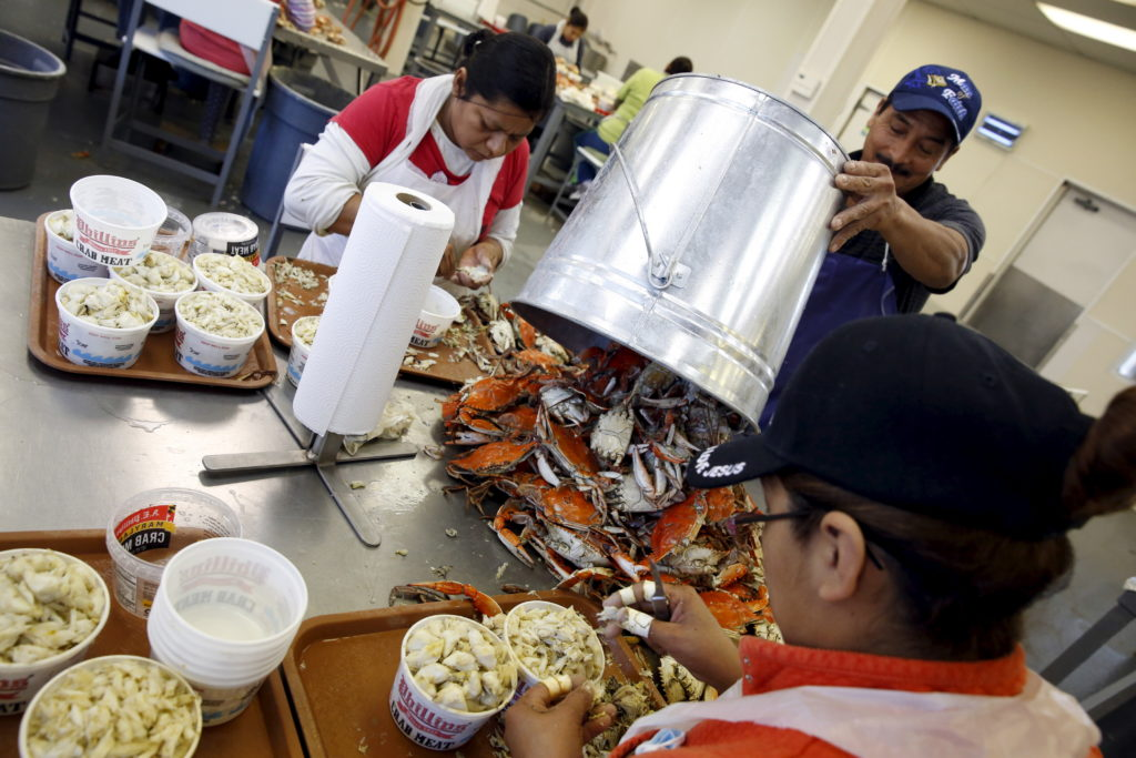 Mexican workers, on the U.S. H2B visa program for seasonal guest workers, process crabs at the A.E. Phillips and Son Inc. crab picking house on Hooper's Island in Fishing Creek, Maryland, on August 26, 2015.  Photo by Jonathan Ernst/Reuters