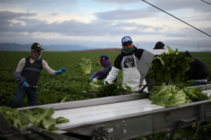 Migrant farmworkers with H-2A visas harvest romaine lettuce in King City, California, on April 17, 2017. The U.S. has been giving more H-2A visas in recent years. Photo by Lucy Nicholson/Reuters