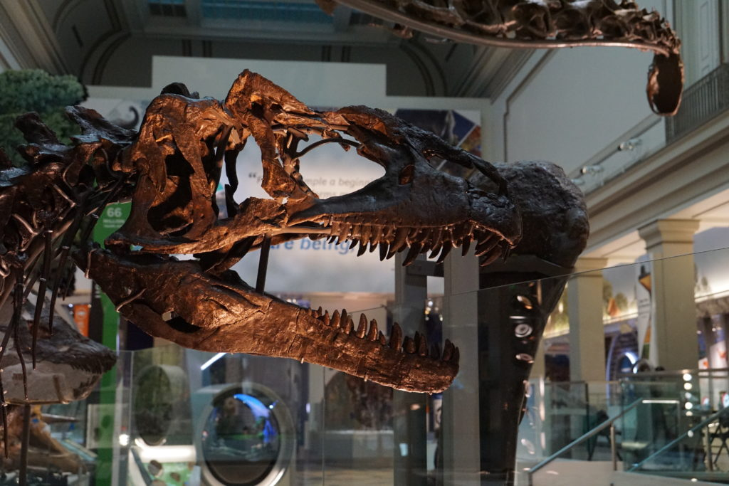 An Allosaurus skeleton is one of more than 700 specimens in the new Hall of Fossils at the National Museum of Natural History. Image by Vicky Stein