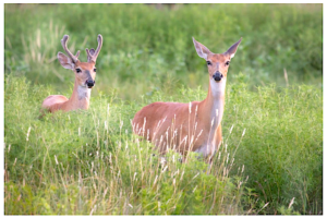 Neonicotinoids are pesticides that target insects' nervous systems with lethal efficiency but are thought to be less toxic to vertebrates. But elevated levels of neonicotinoids in deer appear to be associated with birth defects. Photo by Larry Smith/via Flickr/CC BY 2.0