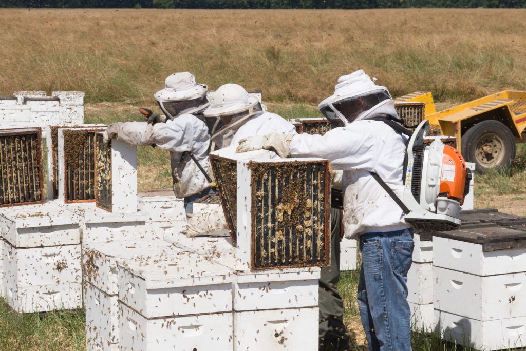 Beekeepers treat honeybee hives to keep pathogens at bay. Photo by Jamie Hooper/via Adobe Stock