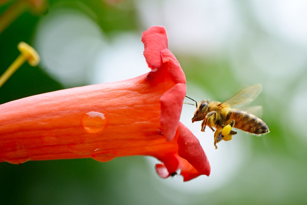 A honeybee gets ready to enter a flower. Photo by Serghei Velusceac/via Adobe Stock