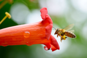A honeybee gets ready to enter a flower. Photo by Serghei Velusceac/via Adobe Stock