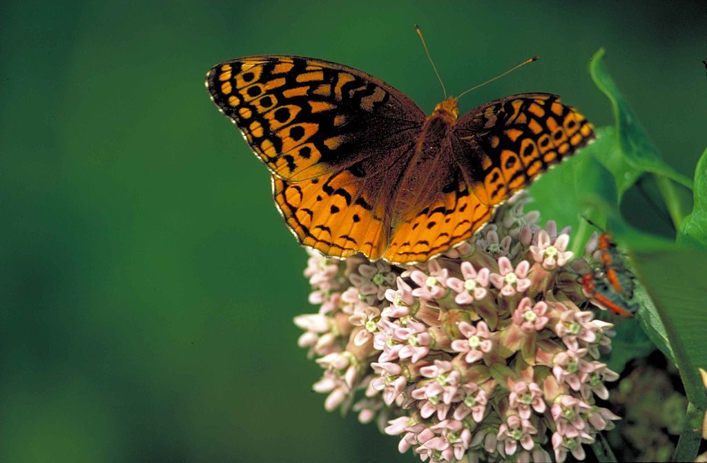 A great spangled fritillary butterfly. Many species are easy for volunteer scientists to identify from a distance with just a little training. Image by Thomas G. Barnes/USGS