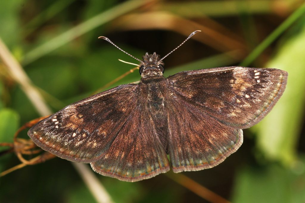 A wild indigo duskywing butterfly. The caterpillars of this species thrive on crown vetch, a plant often used for erosion control  during construction projects. Image by Judy Gallagher/Flickr