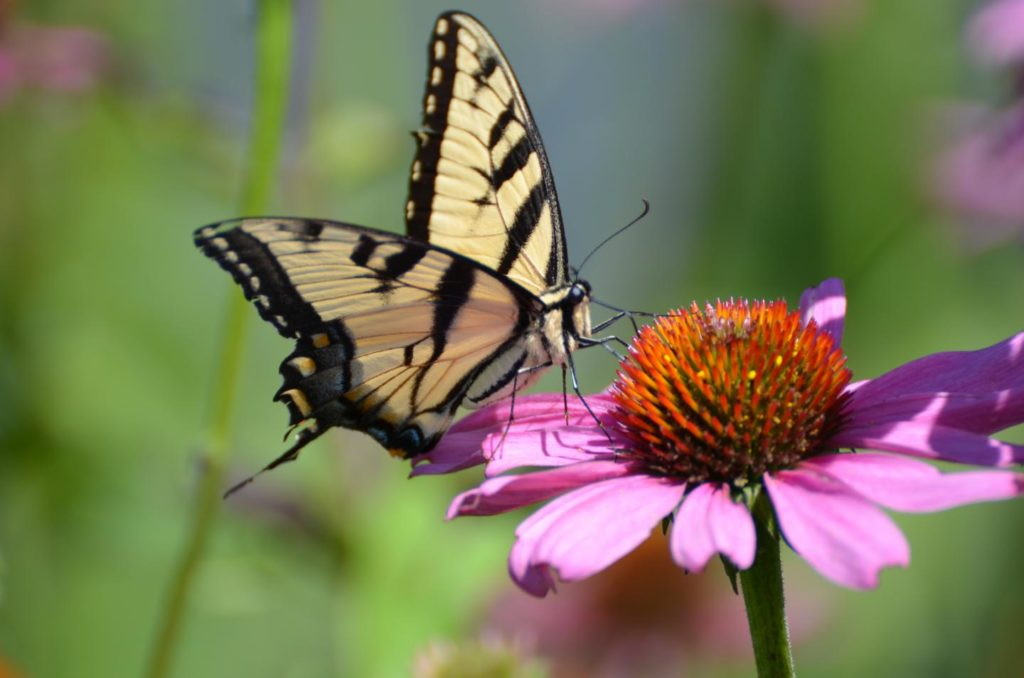 A swallowtail butterfly on a flower. Image by Rob Liptak/Ohio Lepidopterists