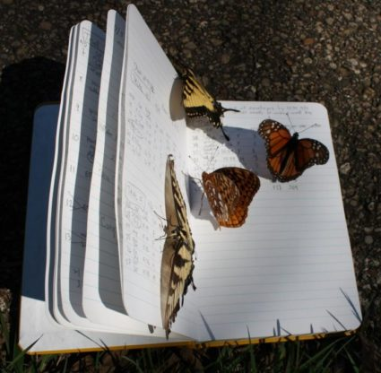 Butterflies on a notebook. Image by Tyson Wepprich/OSU
