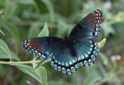 A red-spotted purple butterfly. Image by John Flannery/Flickr