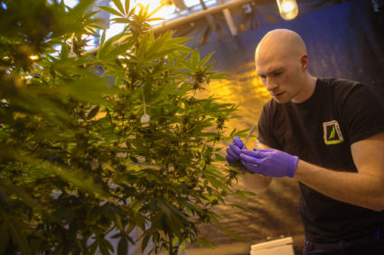 University of Connecticut grad student Peter Apicella works with a cannabis plant in a UConn greenhouse growing THC-free hemp. Photo by Mark Mirko/Hartford Courant/TNS via Getty Images